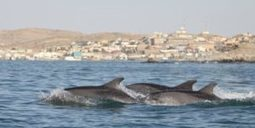 Potential export of wild dolphins from Africa to Asia | Oceans and Wildlife | Scoop.it