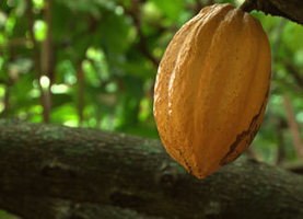 TV5MONDE : Le cacao de Martinique | Remue-méninges FLE | Scoop.it