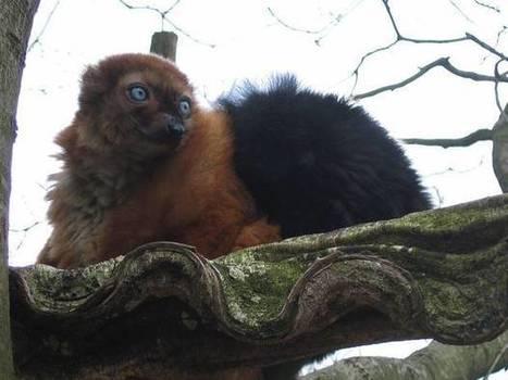 Appeal to save endagered lemurs is falling on deaf ears, say campaigners | GarryRogers Biosphere News | Scoop.it