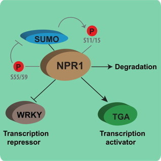 Posttranslational Modifications of the Master Transcriptional Regulator NPR1 Enable Dynamic but Tight Control of Plant Immune Responses: Cell Host & Microbe | Plant-microbe interaction | Scoop.it