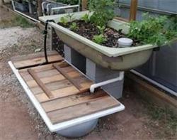 Acuaponia casera for Como criar mojarra tilapia en casa