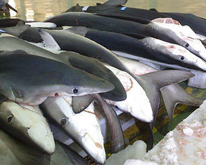 For Spain, the finning ban in the EU seems 'meaningless' | Ocean News | Scoop.it