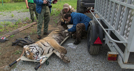 Réintroduction historique de trois tigres de Sibérie en Russie (vidéo) - notre-planete.info | Biodiversité | Scoop.it