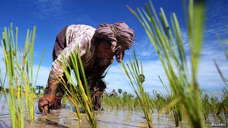 A bigger rice bowl | Food security | Scoop.it