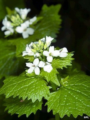 Prehistoric Europeans spiced their food with garlic mustard at least 6,000 years ago | Food | Scoop.it
