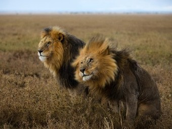 Lion Picture –- Animal Photo -- National Geographic Photo of the Day | Tourisim Australia | Scoop.it