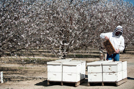 California Drought News: Thirsty almonds and higher prices | Sustainability Science | Scoop.it
