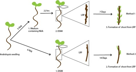 Protocol: a method to study the direct reprogramming of lateral root primordia to fertile shoots. | Emerging Research in Plant Cell Biology | Scoop.it