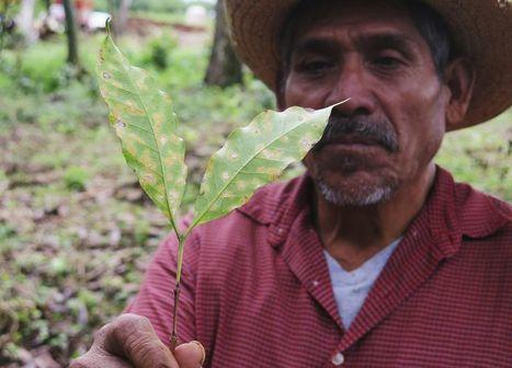 Mexique: «Le changement climatique mène les producteurs de café au défrichement, à l'émigration, voire au narcotrafic» | Mexique | Scoop.it