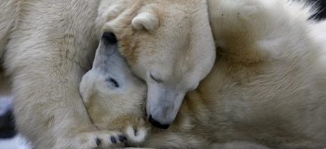 L'os pénien des #ours fragilisé par la #pollution - #arctique | Arctique et Antarctique | Scoop.it