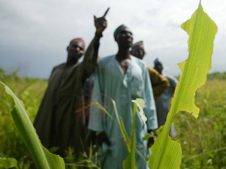 Nigerian farmers abandon food for cannabis - SBS   Drug law reform   Scoop.it