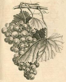 Chemin de Papier: Une ancienne coutume : la plantation d'une vigne en 1868, dans le Niortais et le Mellois | GenealoNet | Scoop.it