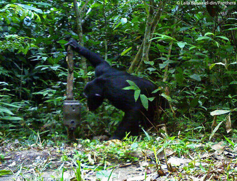 The camera trap revolution: how a simple device is shaping research and conservation worldwide | Environmental Remote Sensing | Scoop.it