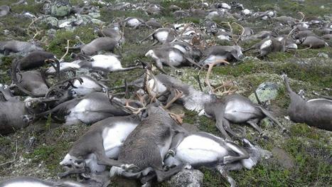 VIDEO. Plus de 300 rennes meurent foudroyés en Norvège | Biodiversité | Scoop.it