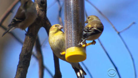 Something to sing about: Songbirds herald coming of spring | Cultural Trendz | Scoop.it
