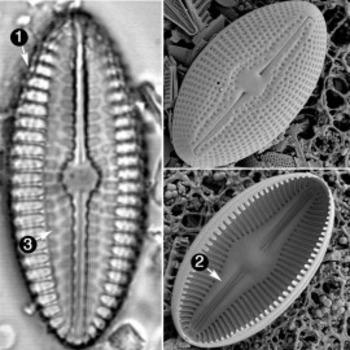 (EN) - GLOSSARY: Diatoms of the United States | westerndiatoms.colorado.edu | Glossarissimo! | Scoop.it