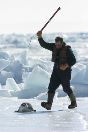 Despite strong opposition and a vanishing market, commercial seal slaughter begins in Canada | Nature Animals humankind | Scoop.it