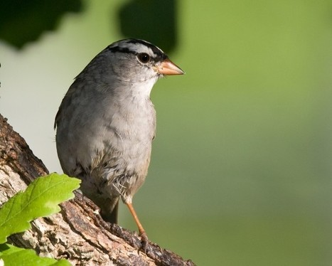 Time for sparrow favorite to visit Texas   Mary Ann's Nature Articles from The Hutto News   Scoop.it