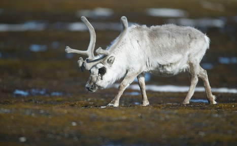 How Climate Change is Endangering 3 Iconic Christmas Animals   Care2 Causes   Animals R Us   Scoop.it
