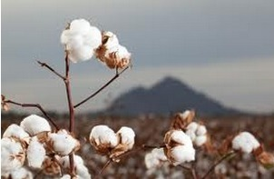 Egypt cotton exports reach 5,615 tons in week ending March 14 | Égypt-actus | Scoop.it