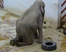 Free Tania the Elephant from the TIrgu Mures Zoo - The Petition Site | Nature Animals humankind | Scoop.it
