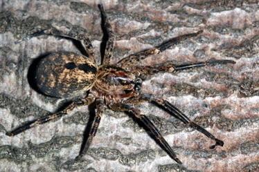 Espèce invasive d'araignée aux Açores | EntomoNews | Scoop.it