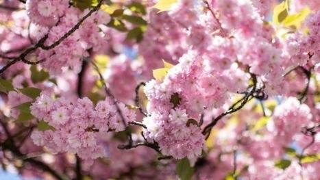 La drosophile du cerisier endommage les récoltes | EntomoNews | Scoop.it