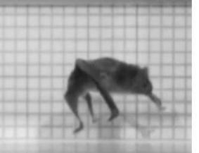 A running vampire bat is weird and awesome | Vloasis sci-tech | Scoop.it