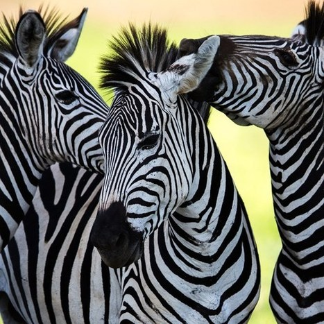 Study: dead zebras in electrified cages show how anthrax spreads in wild | BIOSCIENCE NEWS | Scoop.it