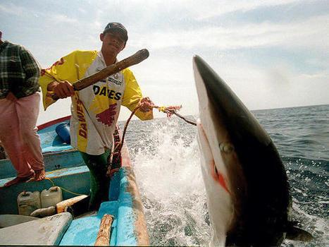 Los países acuerdan el Nuevo Plan para la Conservación Mundial de los Tiburones | Canal Azul 24 | Agua | Scoop.it