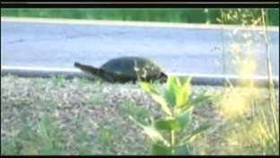 MN DNR warns drivers about turtle crossings | Gov't and Law Branches of Gov't | Scoop.it