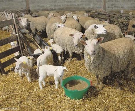 Virus de Schmallenberg : élevages en alerte rouge, mais pas de danger pour l'homme. | Actualité de l'Industrie Agroalimentaire | agro-media.fr | Scoop.it