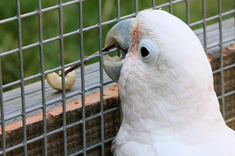 Parrot in captivity manufactures tools, something not seen in the wild | Social Brains | Scoop.it