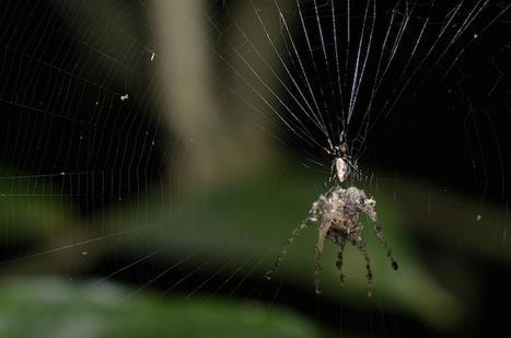 L'araignée qui construisait des répliques géantes et le papillon déguisé en araignée | EntomoScience | Scoop.it