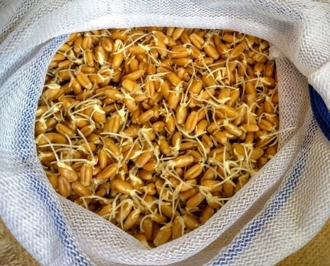 Sprouted Wheat or Wheat Berry Sprout Kit | Vertical Farm - Food Factory | Scoop.it