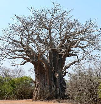 Bioversity International: 11 Priority African Food Tree Species - New Booklet Series | Garden Libraries | Scoop.it
