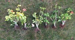 Saving Geraniums & Other Favorite Potted Plants Through Winter « For more information on TUFF GUARD's Garden Hose call Customer Service at (315) 451-2770 | Annie Haven | Haven Brand | Scoop.it