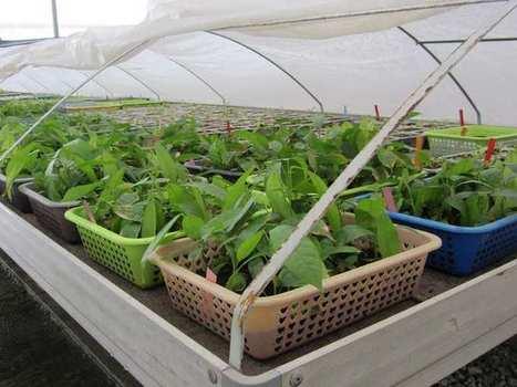 Nestlé travaille à l'amélioration durendement des cacaoyers | Fruits & légumes à l'international | Scoop.it