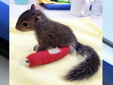Baby squirrel falls from tree, wears little red cast, gets help from City Wildlife rehab center | enjoy yourself | Scoop.it