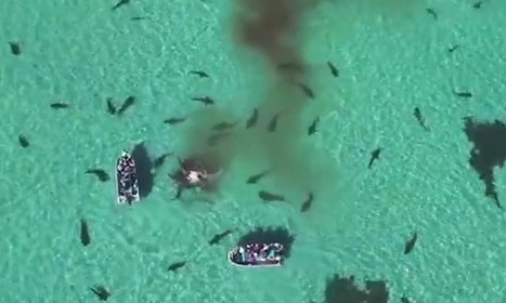 Drone footage captures 70 sharks feasting on whale in Australia – video | Oceans and Wildlife | Scoop.it