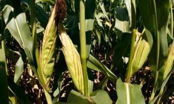 Brasil busca ser el mayor exportador mundial de maíz | Un poco del mundo para Colombia | Scoop.it