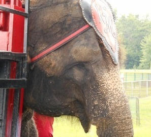 Urge Circus World to End Cruel Elephant Exhibits! | GarryRogers Biosphere News | Scoop.it