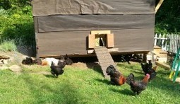Sustainable Living through Poultry Raising : Withywindle Nature | Goat and Pig | Scoop.it