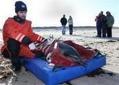 Up to 30 dolphins beach on Cape Cod, 10 to 12 dead | ajc.com | Dolphins | Scoop.it
