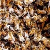 Apicultores y agricultores de Bío Bío piden prohibir químicos nocivos para abejas | ECOSALUD | Scoop.it