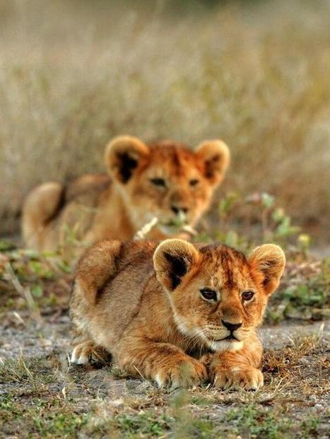 Twitter / MeetAnimals: Lion cubs learning to hunt. ... | My Funny Africa.. Bushwhacker anecdotes | Scoop.it