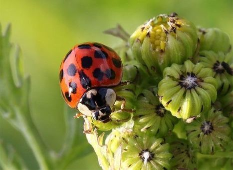 Where have all the ladybugs gone? | Biodiversity protection | Scoop.it
