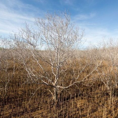 "'Shocking images' reveal death of 10,000 hectares of mangroves (""the worst kind of mangrove dieback"") 