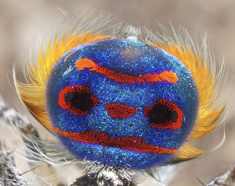 Frighteningly Beautiful Australian Peacock Spider | Mr Tony's Geography Stuff | Scoop.it