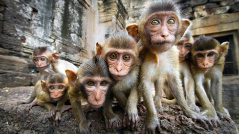 Bioengineered monkeys with human genetic diseases have almost arrived | Strange days indeed... | Scoop.it